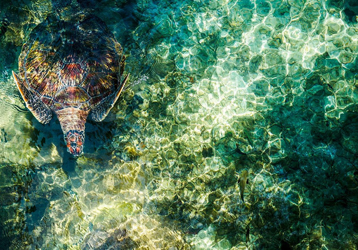 A turtle in crystal clear waters, viewed from the top